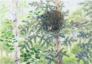 モミの木のリスの巣